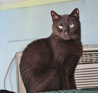 Domestic Shorthair Cat for adoption in Ocean View, New Jersey - Mike