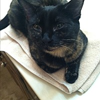 Domestic Shorthair Cat for adoption in Wichita Falls, Texas - Belle