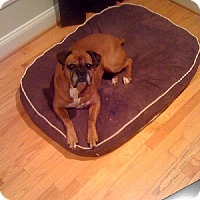 Boxer Dog for adoption in Pasadena, Maryland - Fred