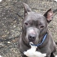 Pit Bull Terrier Mix Dog for adoption in Garden City, Michigan - Bruce