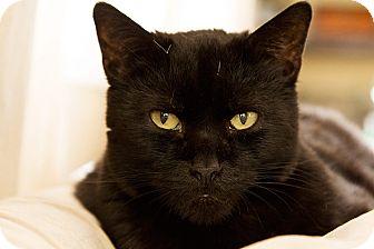 Domestic Shorthair Cat for adoption in Murrieta, California - Steve