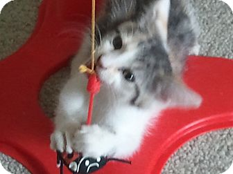 Domestic Shorthair Kitten for adoption in Central Falls, Rhode Island - Tina