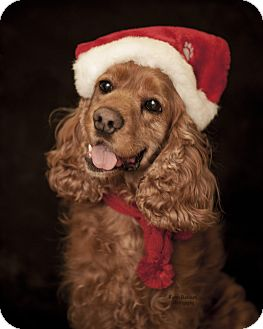 Cocker Spaniel Dog for adoption in Rancho Mirage, California - Scout