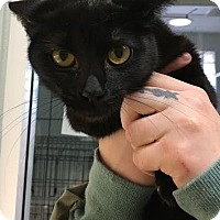 Domestic Shorthair Cat for adoption in Westminster, California - Pepper