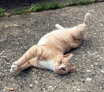 Domestic Shorthair Cat for adoption in Cincinnati, Ohio - zz 'Blake Shelton' courtesy listing