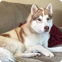 Adopt A Pet :: Copper - Beautiful Husky - Seattle, WA