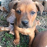 Adopt A Pet :: Brooklyn - Leesville, SC