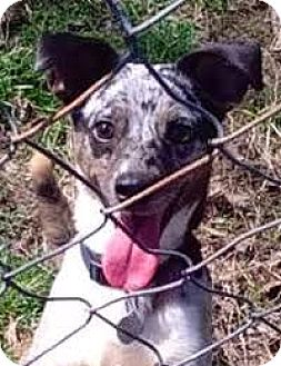 Catahoula Leopard Dog/Dachshund Mix Dog for adoption in Leesburg, Virginia - Mysterio