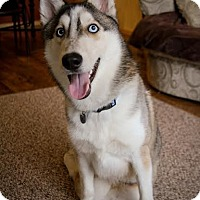 Husky Mix Dog for adoption in Mountlake Terrace, Washington - Chewy
