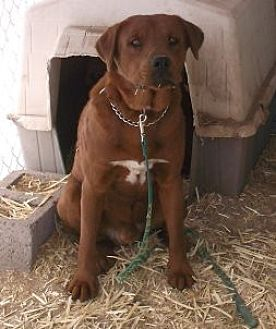 Irish Setter/Golden Retriever Mix Dog for adoption in Pie Town, New Mexico - Eagle