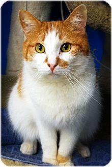 Domestic Shorthair Kitten for adoption in Huntington, New York - Donald