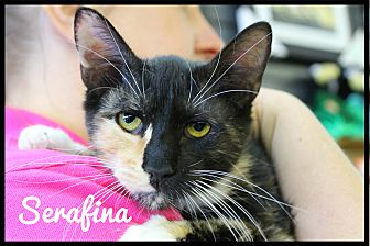 Calico Cat for adoption in Wichita Falls, Texas - Serafina