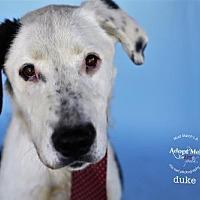 Adopt A Pet :: Duke - Castaic, CA