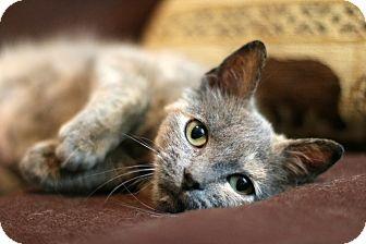 Domestic Shorthair Cat for adoption in New Prague, Minnesota - Akita