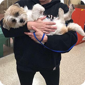 Shih Tzu/Lhasa Apso Mix Dog for adoption in Hatfield, Pennsylvania - Max