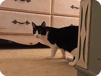Domestic Shorthair Cat for adoption in Fredericksburg, Virginia - Tweety