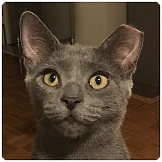 Russian Blue Cat for adoption in New  York City, New York - Shade