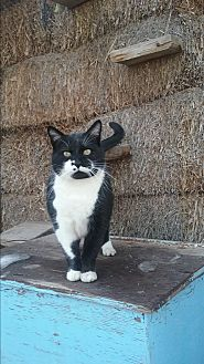 Domestic Shorthair Cat for adoption in Pie Town, New Mexico - Flix