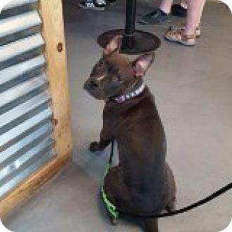 Bulldog/American Pit Bull Terrier Mix Dog for adoption in Palm Springs, California - Kira