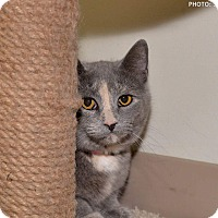 Adopt A Pet :: Velvet - Medina, OH
