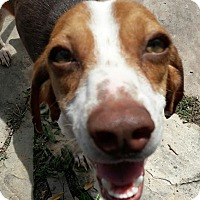 Adopt A Pet :: Amber - In Foster - Marrero, LA