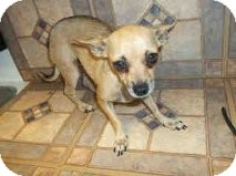 Chihuahua Mix Dog for adoption in Las Vegas, Nevada - Carlee -N