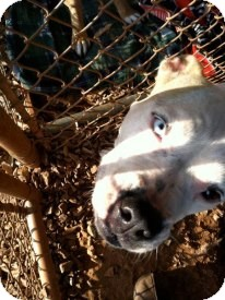 Boxer/American Bulldog Mix Dog for adoption in Newtown, Connecticut - Charmin
