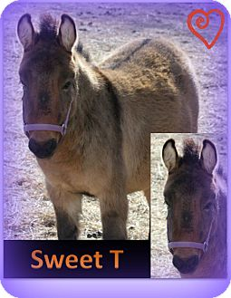 Donkey/Mule/Burro/Hinny Mix for adoption in Malvern, Iowa - Sweet T