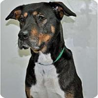 Adopt A Pet :: Boots - Port Washington, NY