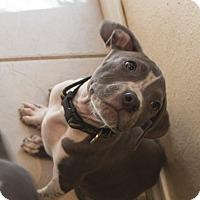 Adopt A Pet :: Corvus - San Diego, CA