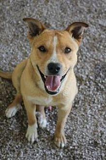 Labrador Retriever Dog for adoption in Yukon, Oklahoma - Colby