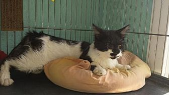 Domestic Longhair Cat for adoption in Iroquois, Illinois - Ryan