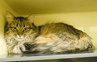 Domestic Longhair Cat for adoption in Saranac Lake, New York - Leigh