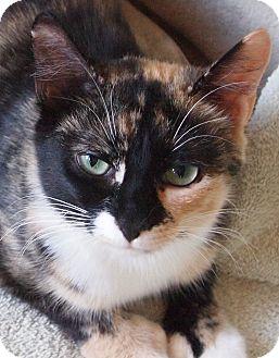 Polydactyl/Hemingway Cat for adoption in Buhl, Idaho - Pollyanna Paws
