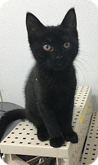 Domestic Shorthair Cat for adoption in Manteo, North Carolina - Winifred
