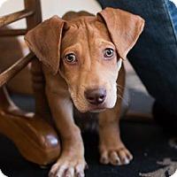 Adopt A Pet :: Finn - Littleton, CO