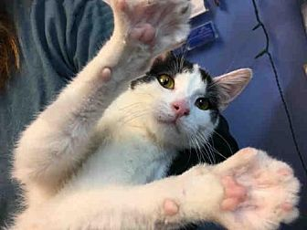 Domestic Mediumhair Cat for adoption in Canfield, Ohio - DOMINO