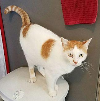 Domestic Shorthair Cat for adoption in Yuba City, California - Nikki