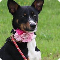 Adopt A Pet :: Pippa - Pluckemin, NJ