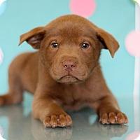 Adopt A Pet :: Hulk - Waldorf, MD