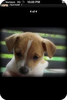 Jack Russell Terrier Mix Puppy for adoption in Somers, Connecticut - Mouse