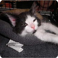 Adopt A Pet :: Cricket - Warren, MI