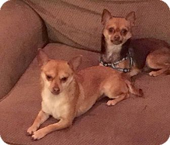 Chihuahua Dog for adoption in Wantagh, New York - Robin