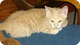 Domestic Shorthair Kitten for adoption in Oviedo, Florida - Stubster