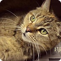 Domestic Shorthair Cat for adoption in Niagara Falls, New York - Fiji