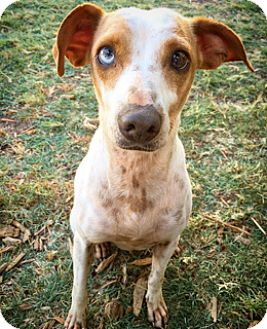 Rat Terrier Mix Dog for adoption in Fredericksburg, Texas - May