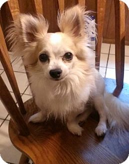 Chihuahua Dog for adoption in Schaumburg, Illinois - Winston