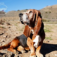 Adopt A Pet :: Barrett - Acton, CA