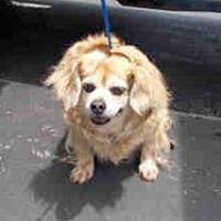 Pekingese/Spaniel (Unknown Type) Mix Dog for adoption in Miami, Florida - Mr. Waddles