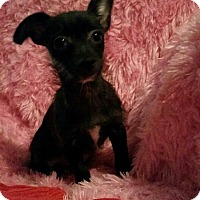 Chihuahua Mix Puppy for adoption in Philadelphia, Pennsylvania - Hope Ann